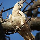 Little Corella by Mark Ingram