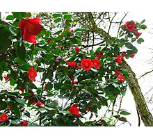 Camellias Photographic Print