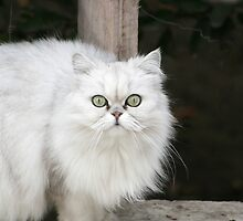 Persian Cat on a Ledge by rhamm
