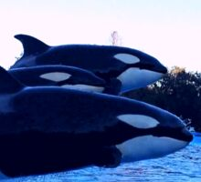 Daddy,Mommy & Baby Orca's Sticker