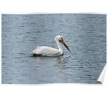 American White Pelican Swimming Poster