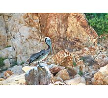 Lonely wild brown pelican HDR Photographic Print