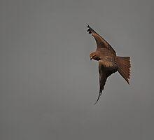 Black Kite against a smoky sky by Greta van der Rol