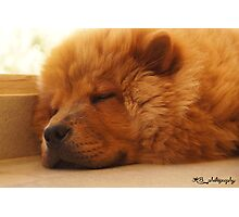 Chow chow dog Photographic Print