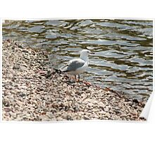 Herring Gull on a Beach Poster