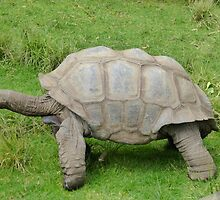 Aldabra Giant Tortoise of Seychelles by Keith Richardson