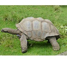 Aldabra Giant Tortoise of Seychelles Photographic Print