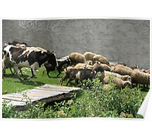 Herding Cows Sheep and Goats Poster