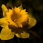 Evening Daffodil by cclaude