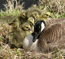 Canada Goose and Six Goslings by rhamm