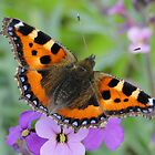 Small Tortoiseshell Butterfly by Barrie Woodward