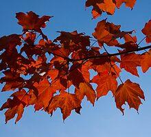 Canadian Fall Colour by Georgia Mizuleva