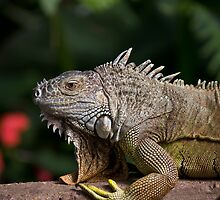 Iguana by Tam Church