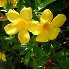 ALLAMANDA FLOWERS  by TomBaumker