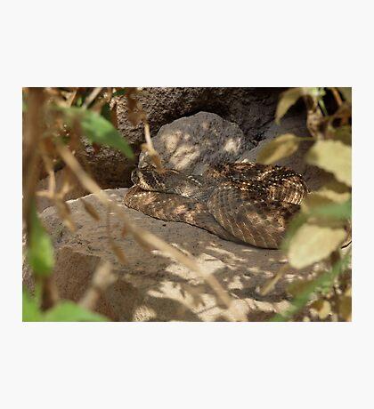 Western Diamond-backed Rattlesnake Photographic Print