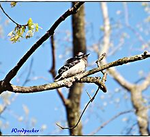 Wood Pecker by photographyman