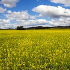 Rapeseed plants by Doug Cliff