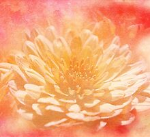 Chrysanthemum Obscured by MotherNature2