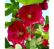 Hollyhock Photographic Print