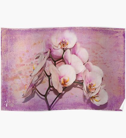 Orchid (Phalaenopis) Poster