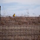 Meadowlark on Fence by Suz Garten