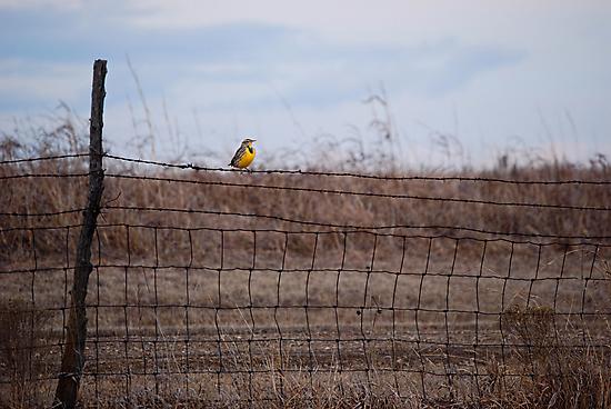 Meadowlark on Fence by Suz Garten