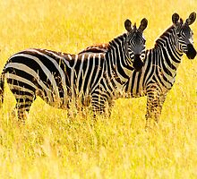 Two Zebras by Johan Skybäck