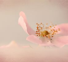 Pink Wild Rose by Mona Karhemaa