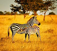 Zebra with Feeding Foal by Johan Skybäck