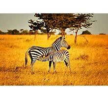 Zebra with Feeding Foal Photographic Print