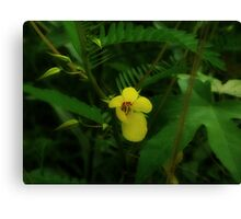 Partridge Pea Canvas Print