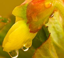 Begonia Raindrops by DIANE  FIFIELD