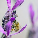 Bees in the Lavender by Clare Colins