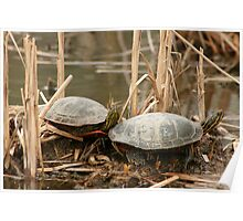 Pair of Painted Turtles Poster