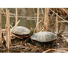 Pair of Painted Turtles Photographic Print