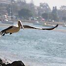 Pelican Taking Flight @ Port Macquarie by Kymbo