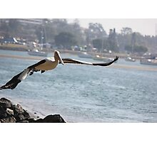 Pelican Taking Flight @ Port Macquarie Photographic Print