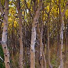 Rabbit Creek Aspens by mikewheels