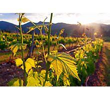 Dawn On The Vineyard Photographic Print