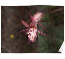 red beaks orchid Pyrorchis nigricans Poster