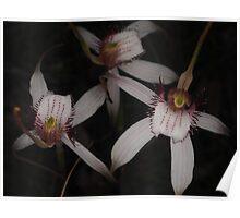 stark white orchid Caladenia longicauda Poster