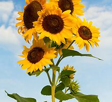 Sunflower Cluster by Kenneth Keifer