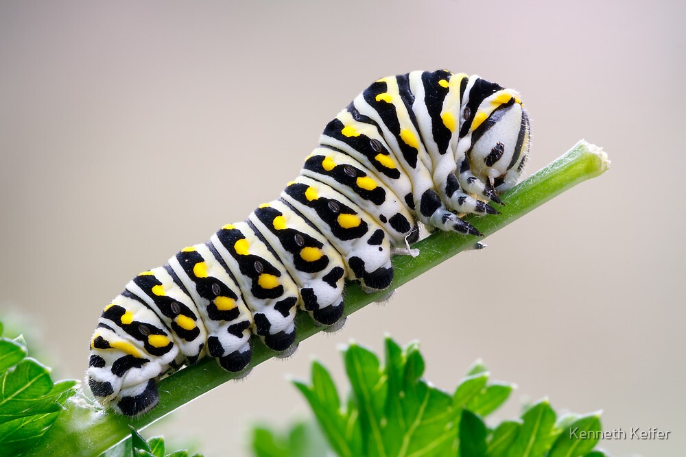 Black Swallowtail Butterfly Caterpillar on Parsley by Kenneth Keifer