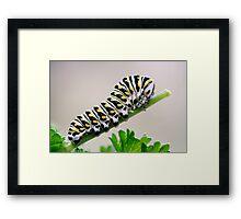 Black Swallowtail Butterfly Caterpillar on Parsley Framed Print