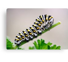 Black Swallowtail Butterfly Caterpillar on Parsley Canvas Print