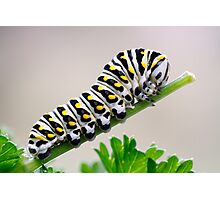 Black Swallowtail Butterfly Caterpillar on Parsley Photographic Print