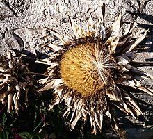 Dry Sunflower by Lucie Rovná