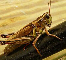 Grasshopper by PineSinger