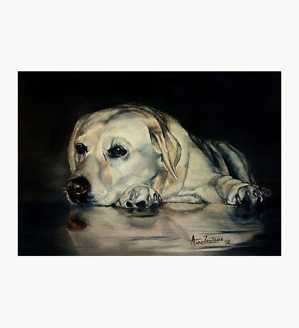 Yellow Labrador Photographic Print