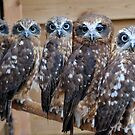 Southern Boobook Cross Eyed Owls  by Purshue